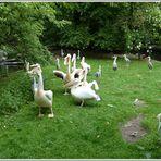 Pelikane - auf dem Weg nach Futter - umringt von interessierten Reihern