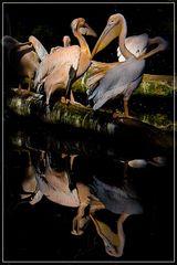 Pelikane (aus dem Archiv)
