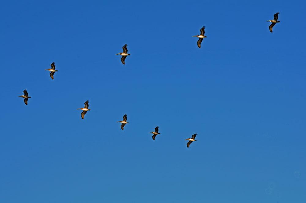 Pelikane in Formation