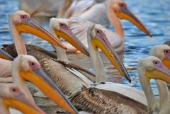 Pelikane  ( Pelecanus onocrotalus )