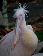 pelikane sind keine Kuscheltiere