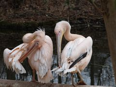Pelikane2