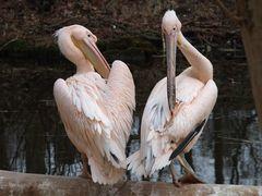 Pelikane3