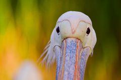 Pelikangesicht