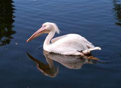 Pelikan...hoch 2...