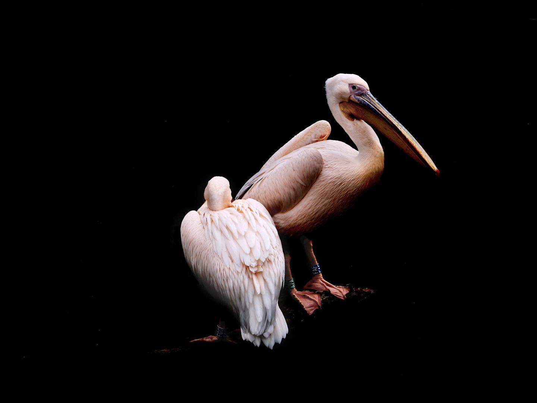 Pelle, der Pelikan