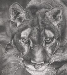 Pencil Drawing The Hunter Of The Night
