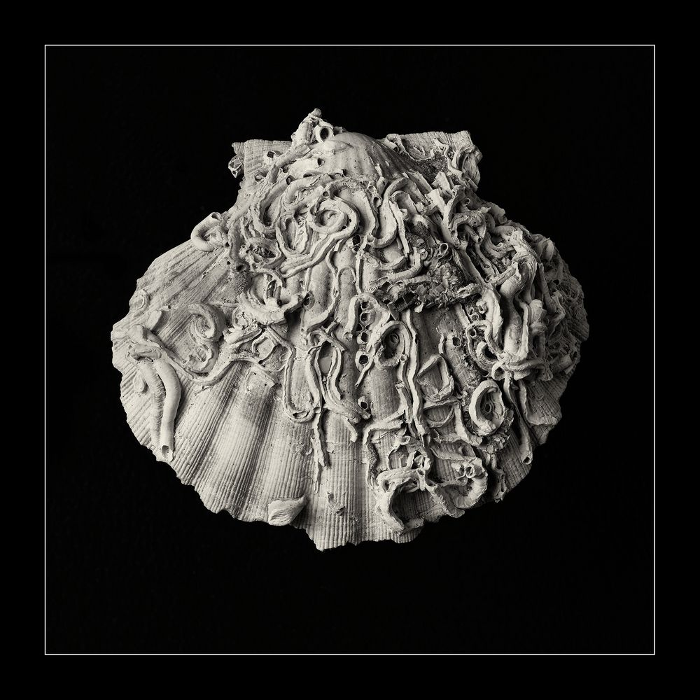 Pencil of Nature - Shell #1
