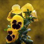 Pensamiento de color amarillo - gelbes Stiefmütterschen