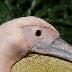 Pensive pelican