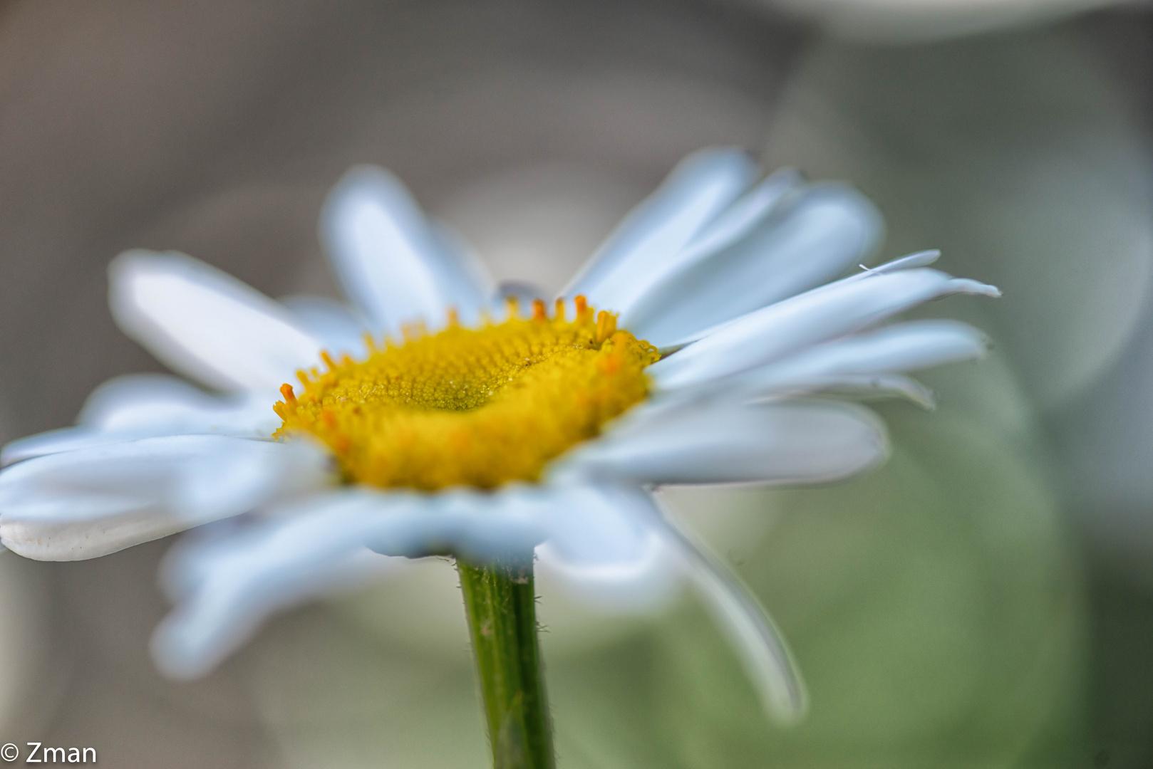 PEO_5851-Oxeye Daisy