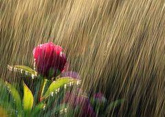 Peonia in the rain