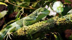 Pepe - Fidschileguan (Brachylophus fasciatus)