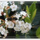 Pequeña mosca camuflada de abeja / avispa posada en flores blancas GKM2
