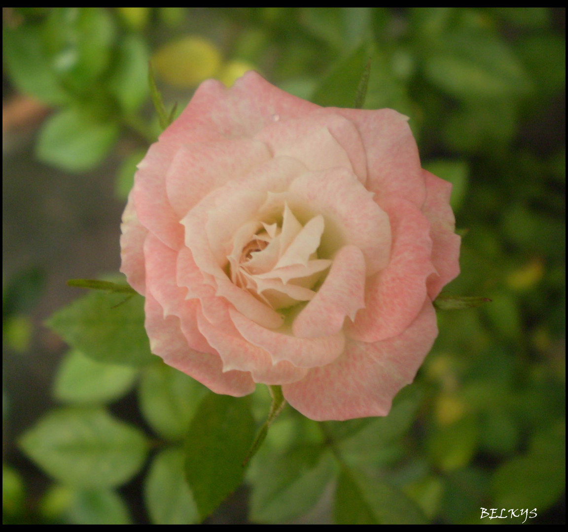 pequeña rosa