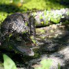 pequeño caimán