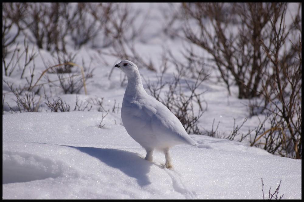 Perdrix des neiges