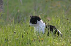 Peregrine Cat