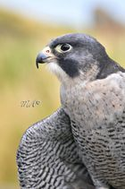 Peregrine (Falcons)