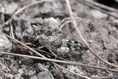 Perfekt getarnt: die Blauflügelige Ödlandschrecke