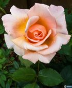 Perfumed Rosa `Just Joey`
