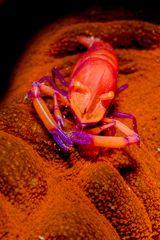 Periclemenses Imperator Shrimp