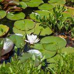 Perlacher Forst #1 - Blüte einer Weißen Seerose