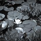 Perlacher Forst #1 - Blüte einer Weißen Seerose - S/W