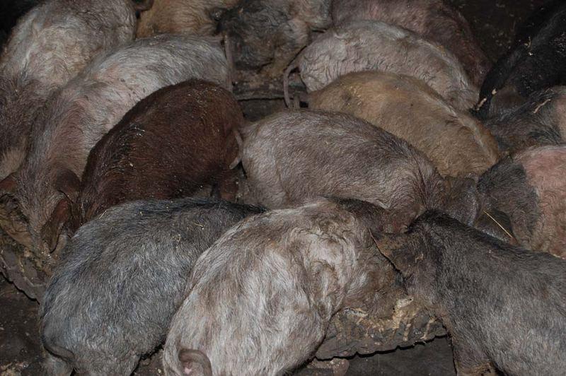 Perle ai porci....