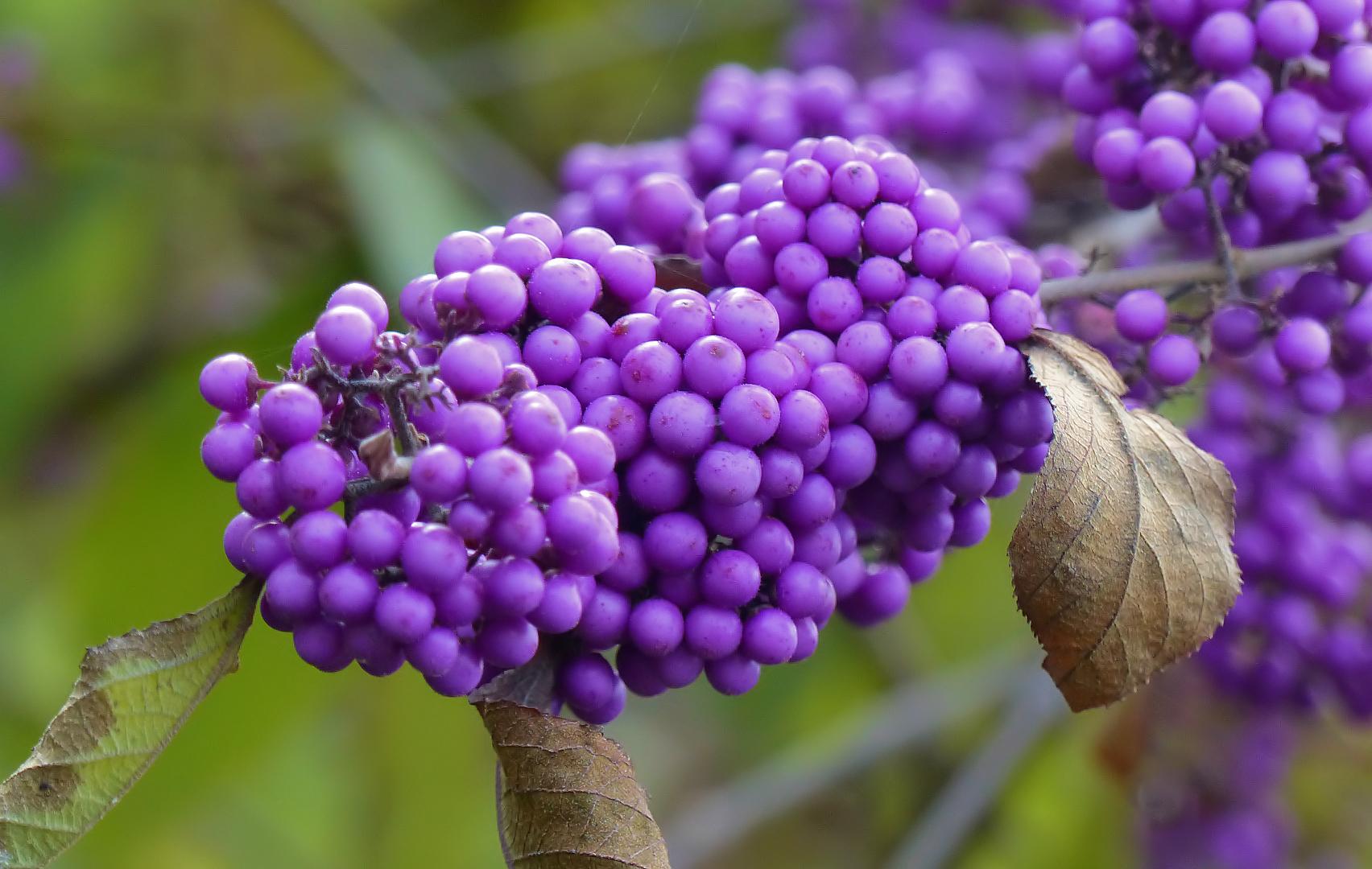 Perlen der Herbstes