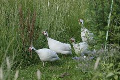 Perlhühner auf Wanderschaft.