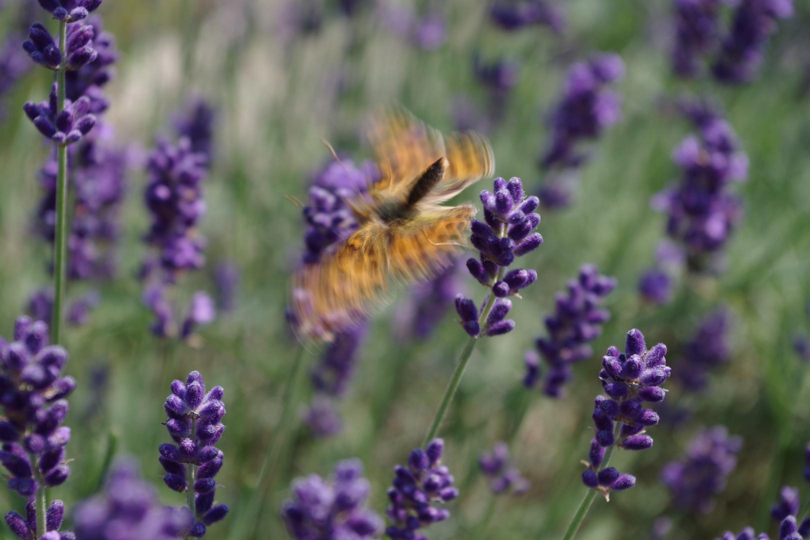 Perlmutterfalter an Lavendel