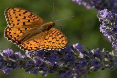 Perlmuttfalter (?) auf Lavendel