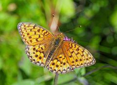 Perlmuttfalter mit schwieriger Bestimmung: Unterseite nicht sichtbar! - Fritillaire, un papillon!