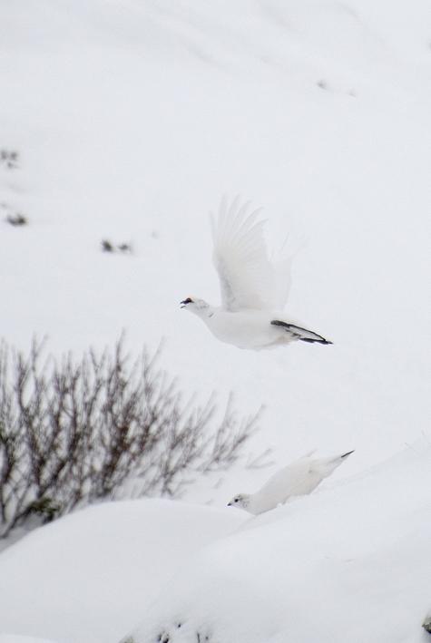 Pernici bianche (Lagopus mutus)