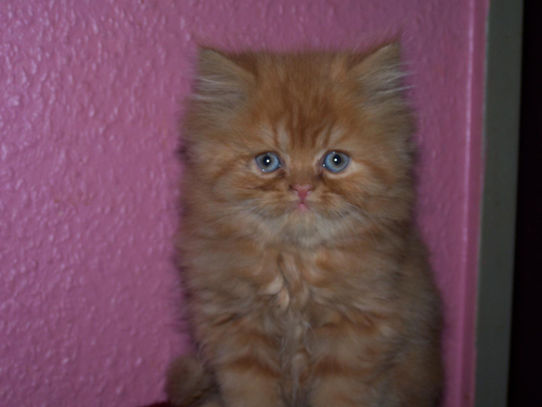 Perser Baby Katze Foto Bild Tiere Haustiere Katzen Bilder