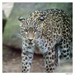 Persischer Leopard...