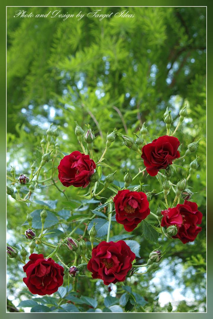 perspektive alte rosensorten foto bild pflanzen pilze flechten bl ten kleinpflanzen. Black Bedroom Furniture Sets. Home Design Ideas