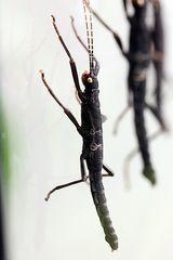 Peru Samtschrecke