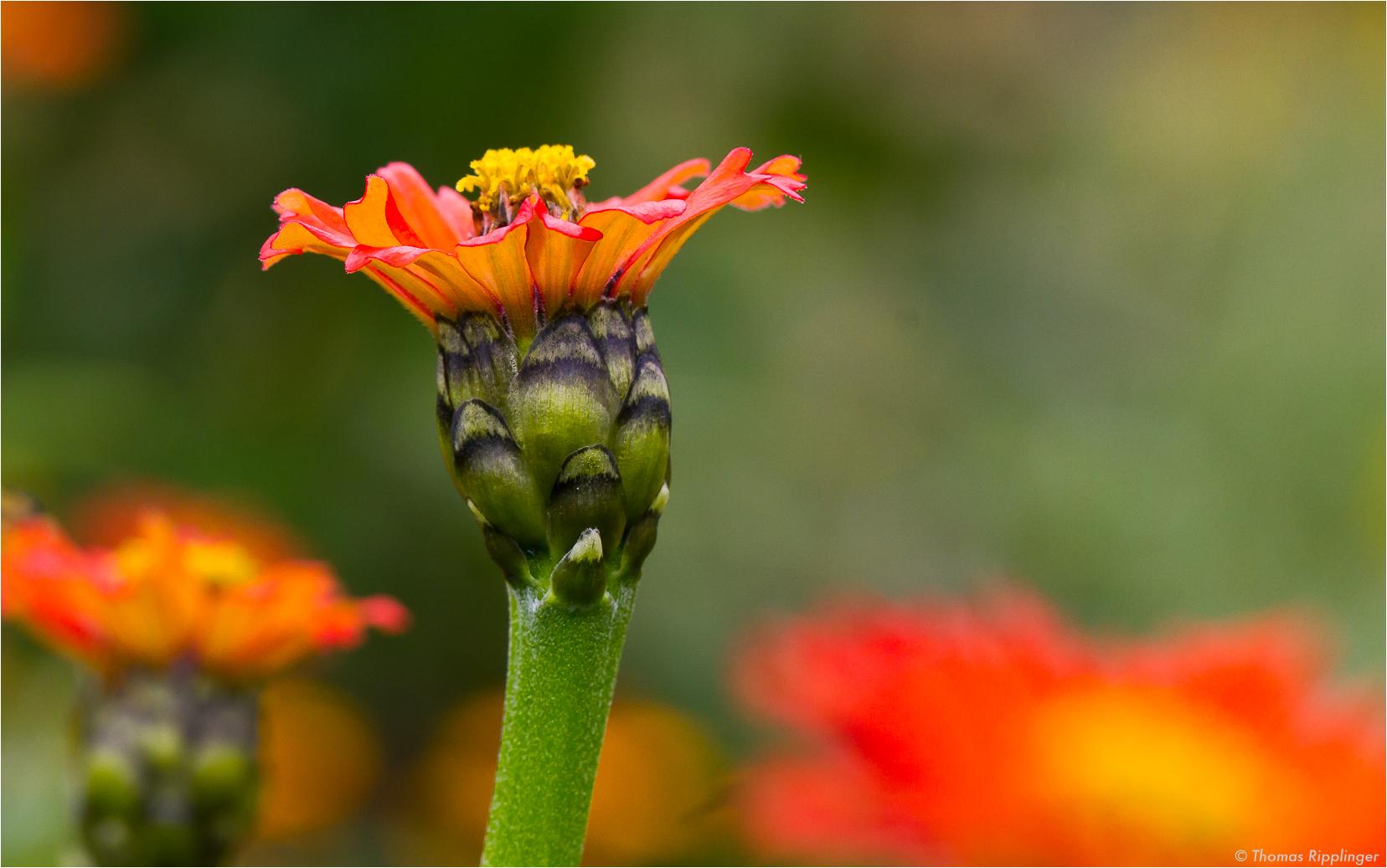 Peruanische Zinnie (Zinnia peruviana). D