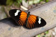 Peruanischer Schmetterling, Heliconius erato, Common longwing.