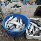 Pescata