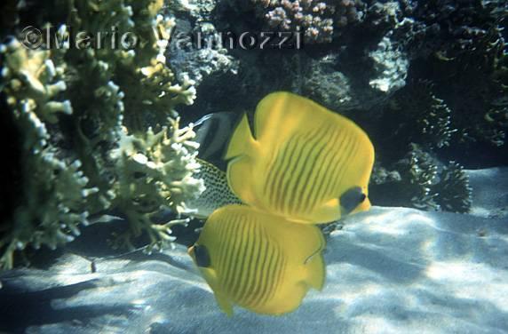 Pesce farfalla dorato