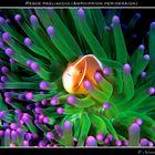 Pesce pagliaccio (Amphiprion perideraion) su anemone verde