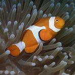 Pesce pagliaccio clown orientale - Amphiprion percula