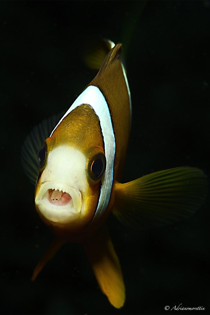 pesce con parassiti in bocca