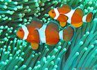 Pesce pagliaccio occidentale - Amphiprion ocellaris