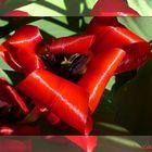 Pétales enroulées / Zusammengerollte Tulpenblätter