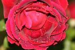 ,,, petali e lacrime ,,,