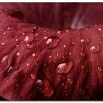 Pétalos con lluvia II
